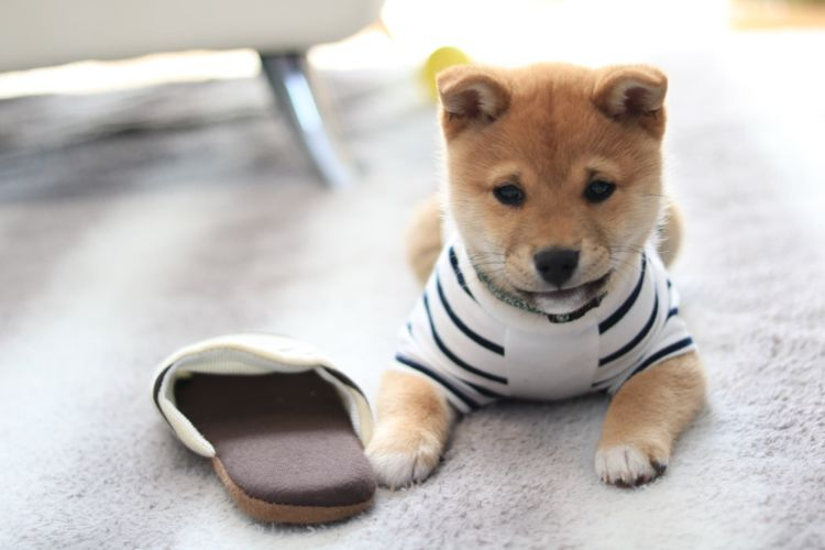 柴犬の歯磨き【いつから(何歳)必要?頻度(回数)は?】