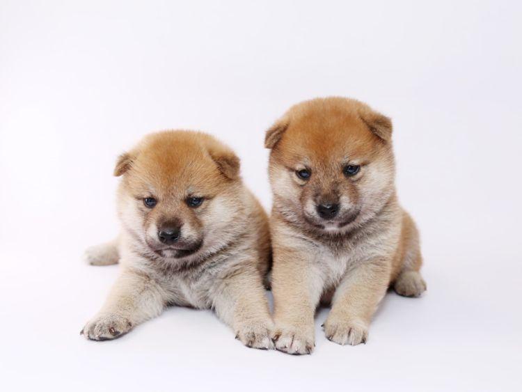 柴犬の子犬(赤ちゃん)・老犬の歯磨き【注意点・ケア方法は?】