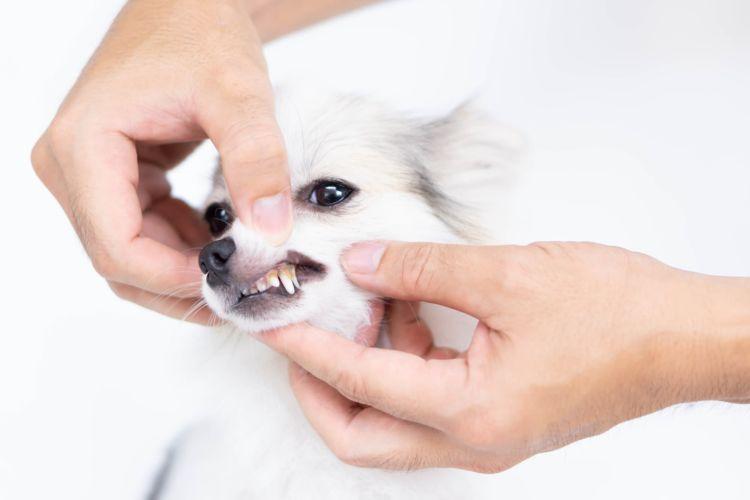 ポメラニアンの歯磨き【ポメラニアン専用(小型犬)の歯ブラシや歯磨き粉が必要?おすすめグッズは?】