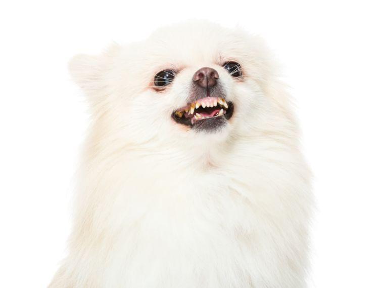 ポメラニアンの歯磨き【噛む・暴れる・嫌がる場合の対処法は?】