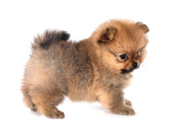 ポメラニアンの子犬(赤ちゃん)・老犬の歯磨き【注意点・ケア方法は?】