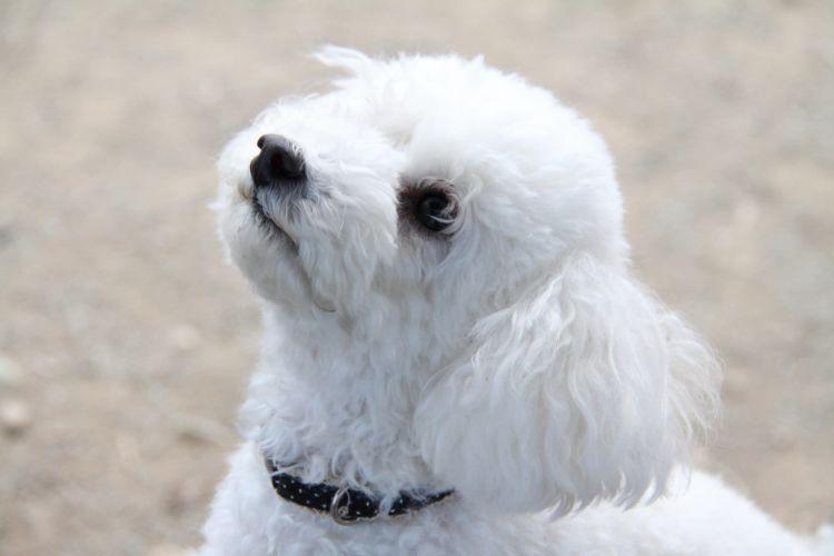 トイ・プードルのペット保険加入時の補償対象年齢(犬種)、割合、告知、多頭飼いなどの条件は?