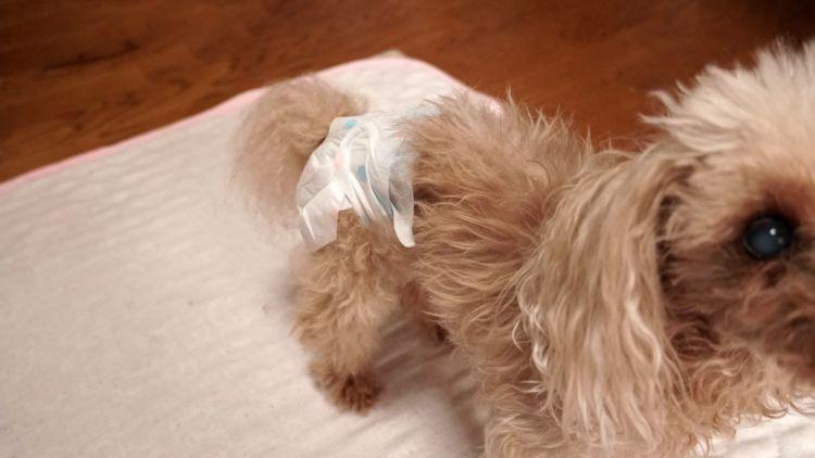 トイ・プードルの子犬・老犬(シニア)はペット保険に加入できる?