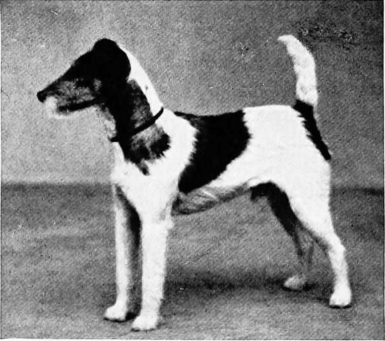 1907年以前に撮影されたと思われるワイヤー・フォックス・テリア