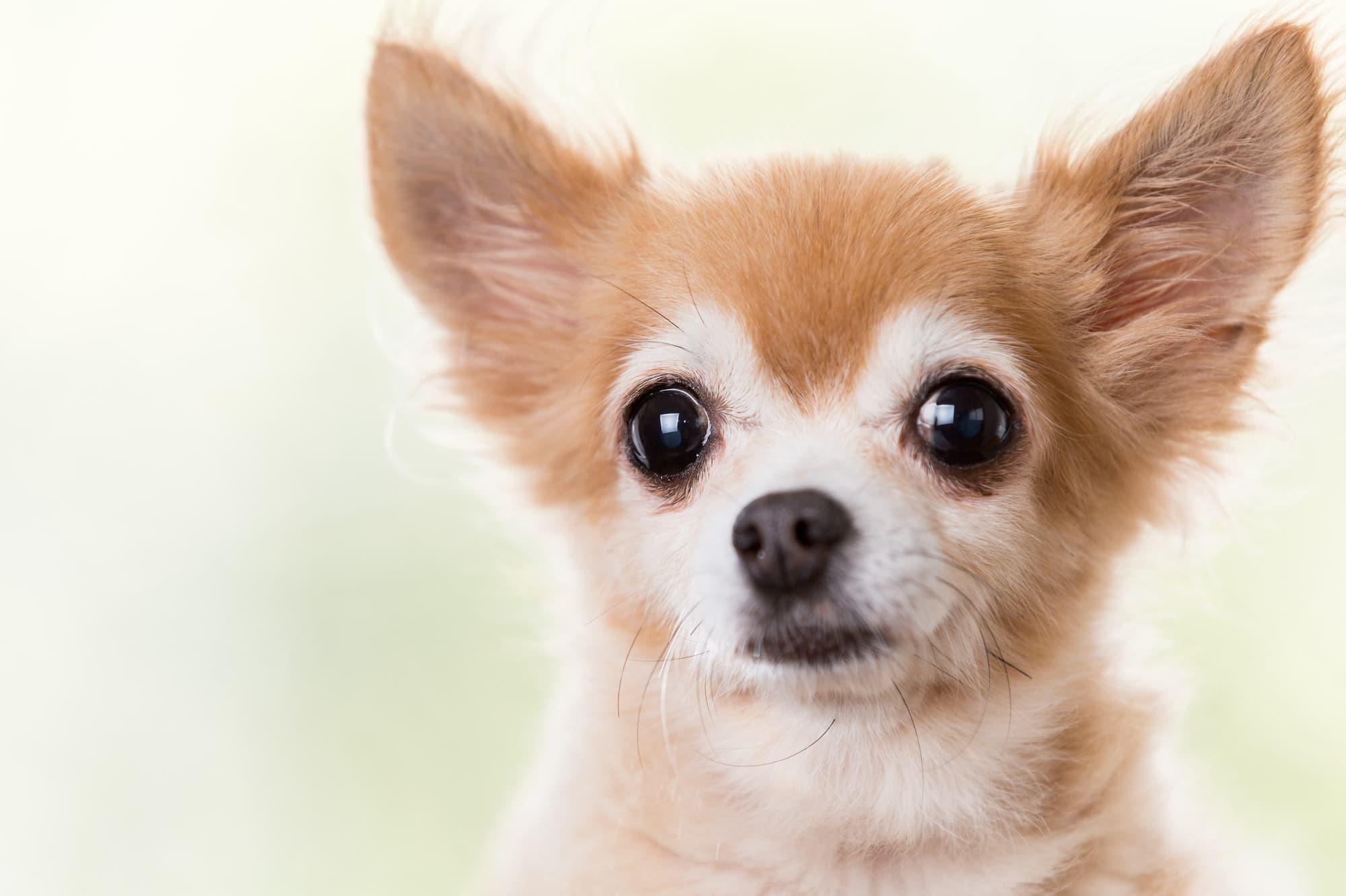チワワにペット保険は必要?いらない?後悔しない選び方やタイミング、待機期間、条件、かかりやすい病気!