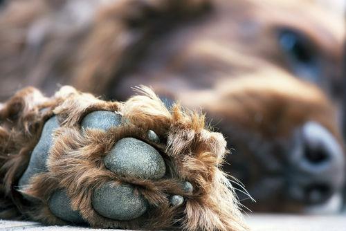 犬の肉球からポップコーンの匂いがする理由その①~「汗」と「足裏の汚れ」