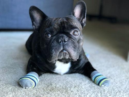 靴下を履く犬