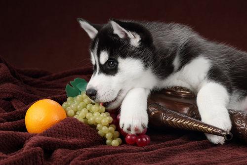 犬が「ぶどう」を誤食した際のアレルギーや中毒症状は?