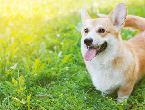 犬にとうもろこしを与える際の【適量】は?(小型犬・中型犬・小型犬)
