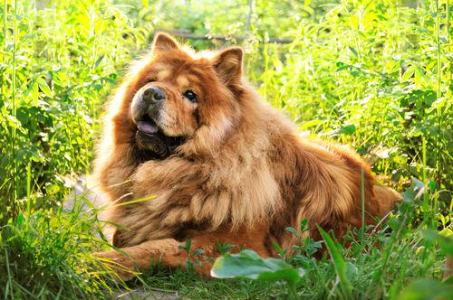 【獣医師監修】チャウ・チャウの性格と特徴「青黒い舌」!超古代犬種の知られざる秘密!