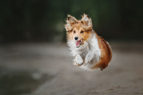 犬に納豆を与える健康のメリットは?