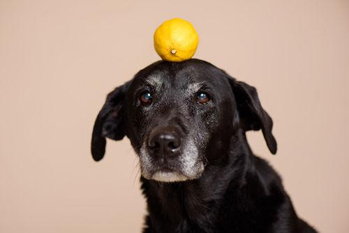 愛犬に与える「レモン」のまとめ