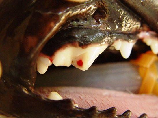 犬の歯が折れた(破折)【考えられる原因・病気は?】