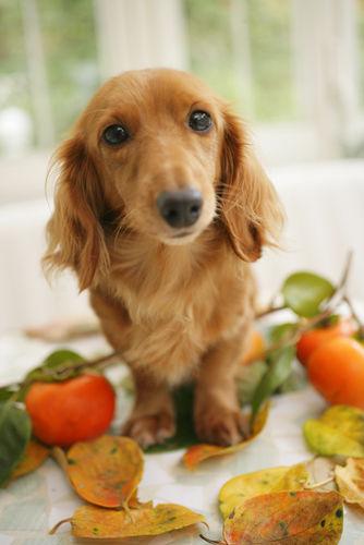 犬が柿を食べても大丈夫!