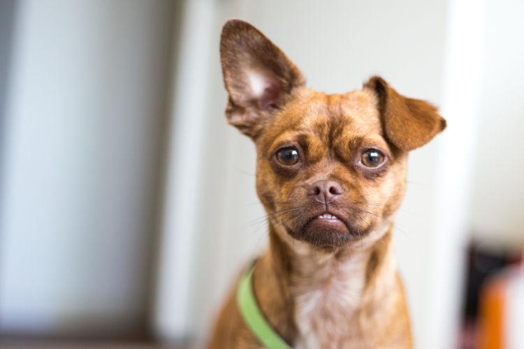 【獣医師監修】犬の耳にしこり・できものがある。この症状から考えられる原因や病気は?