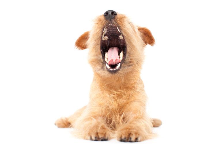 【獣医師監修】犬の口の中にしこり・できものがある。この症状から考えられる原因や病気は?