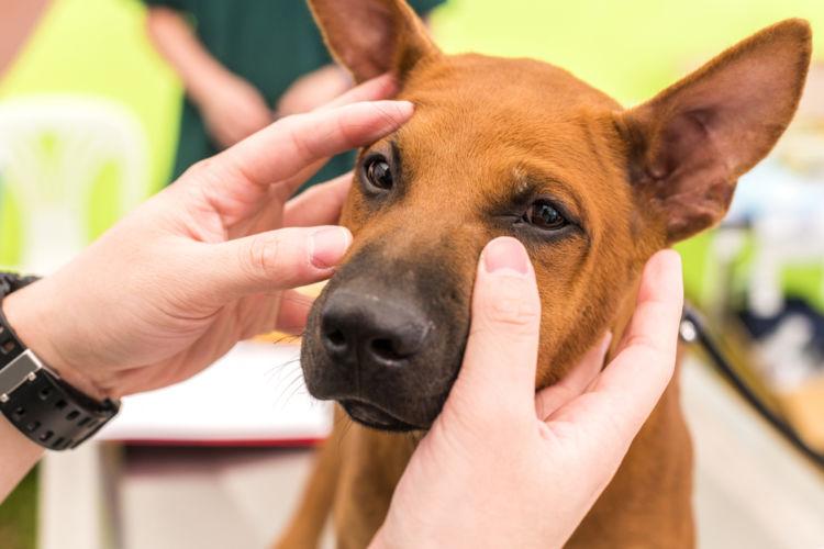 【獣医師監修】犬が目やにが出ている。この症状から考えられる原因や病気は?