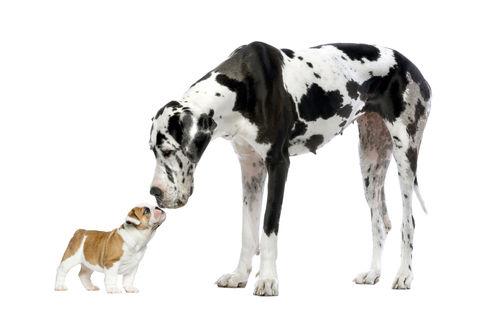 超大型犬(41~65㎏)