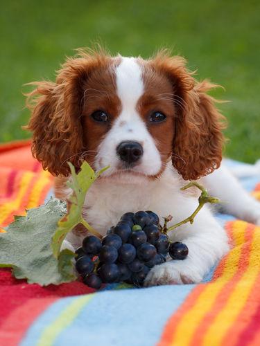 犬にぶどうを食べさせていけません