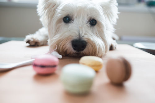 【獣医師監修】人間用のお菓子は犬に与えてはダメ!?肥満や病気のリスクと対処法は?