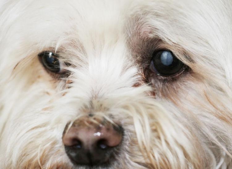 犬の進行性網膜萎縮症(犬の遺伝性網膜症)