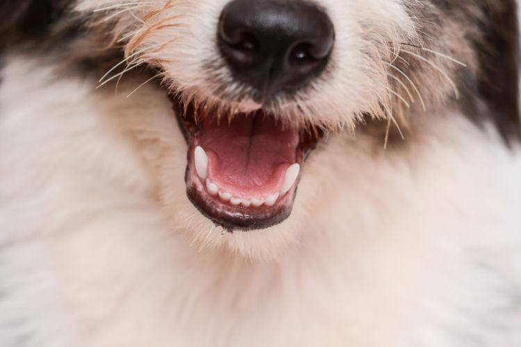 犬の口の色がヘン・変色【考えられる原因(病気)・症状は?】