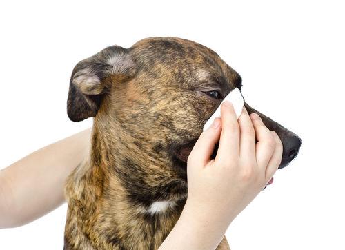 犬の目やにを拭く