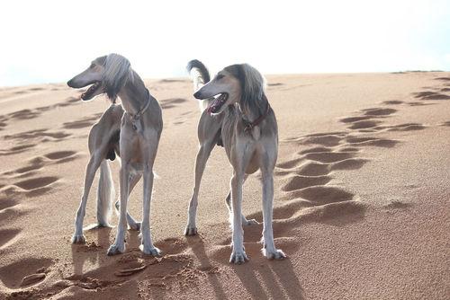 砂漠のサルーキ