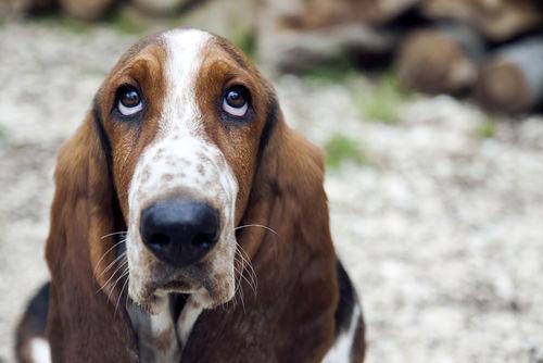 <バセット・ハウンド>歴史やカラダ・性格などの特徴【JAHA家庭犬しつけインストラクター監修】