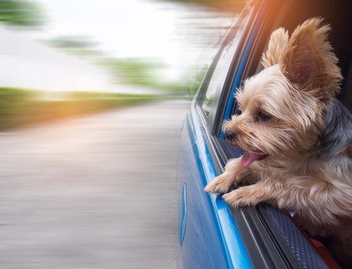 車酔いでよだれが増える犬