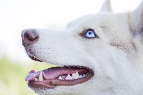 【獣医師監修】犬の歯が折れた(破折)!歯は生え変わる?抜歯の費用は?原因や対処・予防方法!