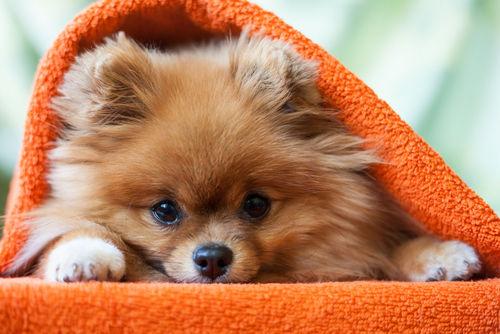 老犬の口のまわりが腫れている【注意点・ケア方法】