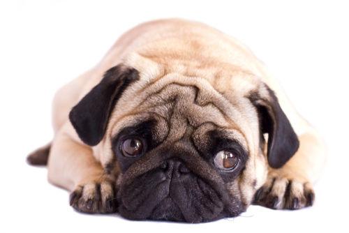 犬の視神経炎