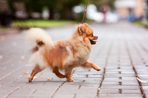 【獣医師監修】犬の歩き方がおかしい。この症状から考えられる原因や病気は?