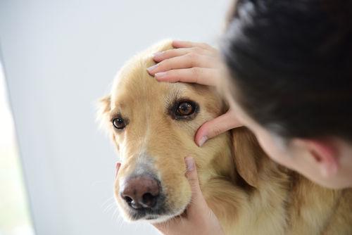 犬の目に傷がある【こんな場合は要注意!】