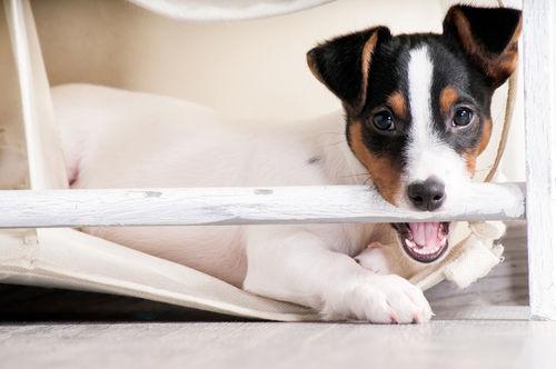 犬の口の出血【なりやすい犬種は?】