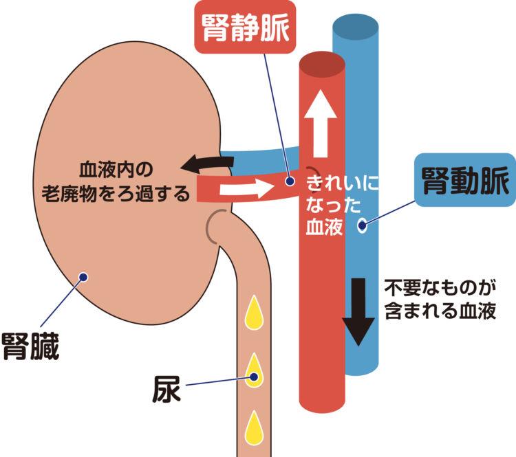 犬の腎臓の働き