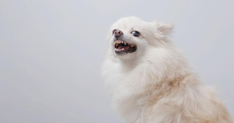【獣医師監修】犬の口内炎(赤い・白い)、原因や症状は?対処・治療法、治療費、予防対策は?