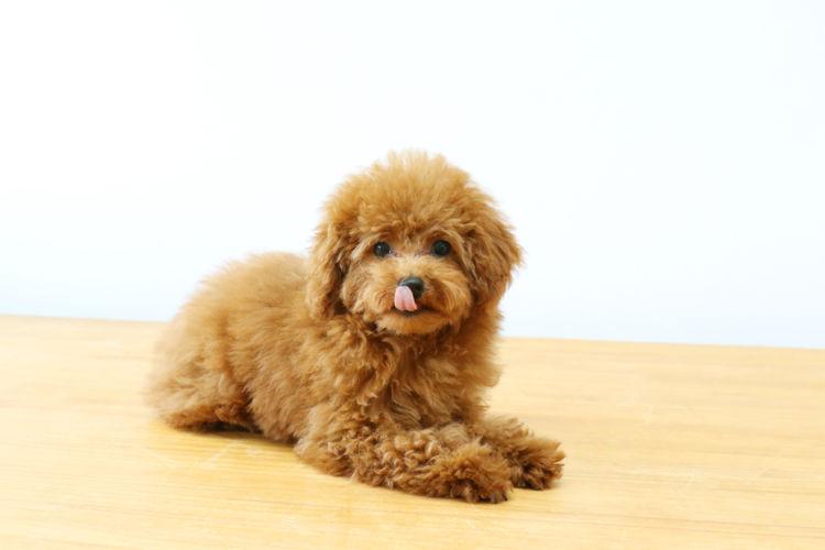 犬の膝蓋骨脱臼【発症しやすい犬種】