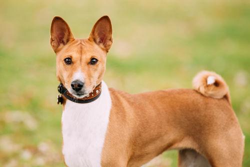 【獣医師監修】バセンジーの性格や飼い方、不思議な特徴をチェック「吠えない古代犬?」