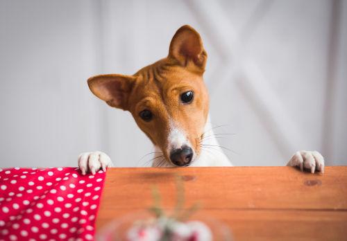 バセンジー【不思議な特徴】その①~吠えない犬