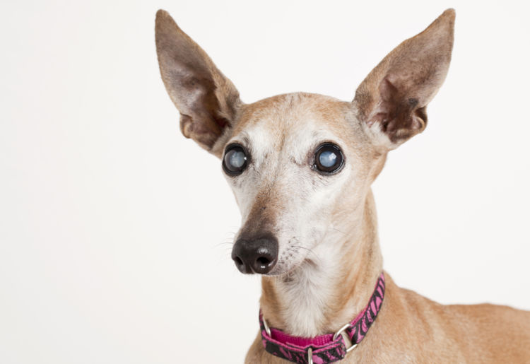 【獣医師監修】「犬の白内障」原因や症状、なりやすい犬種、治療方法は?