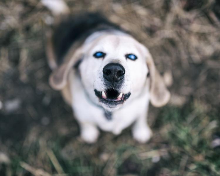 犬の白内障【症状】