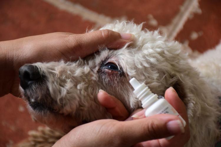 犬の白内障【治療方法】