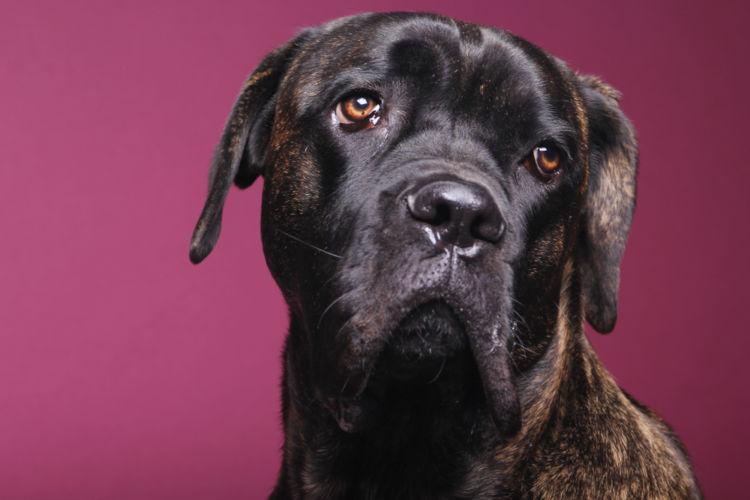 犬の緑内障の手術