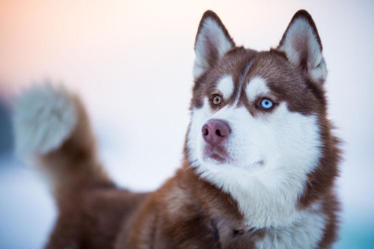 犬の緑内障と間違えやすい病気