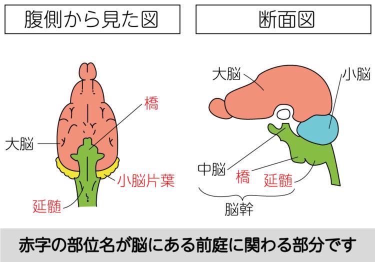 脳にある前庭器官