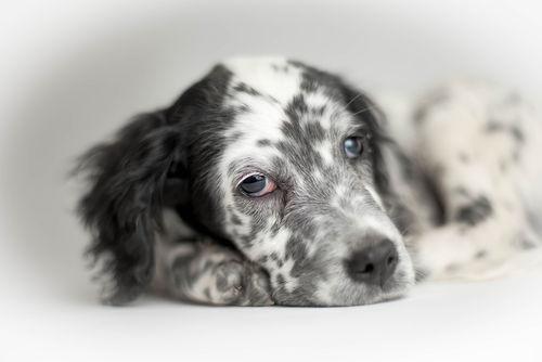 イングリッシュ・セッター【飼い方】~愛犬と楽しく暮らすためには?