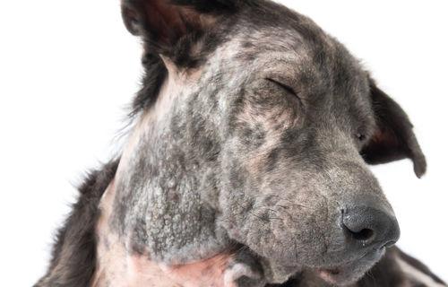 犬の甲状腺機能低下症(こうじょうせんきのうていかしょう)