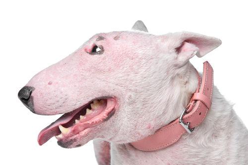 犬の表在性膿皮症(ひょうざいせいのうひしょう)
